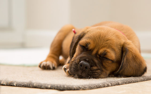 Hire a professional carpet cleaning to remove pet odours from carpets - image
